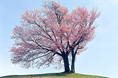 The twins' cherry blossoms
